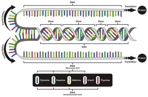 ДНК, РНК — что ещё?