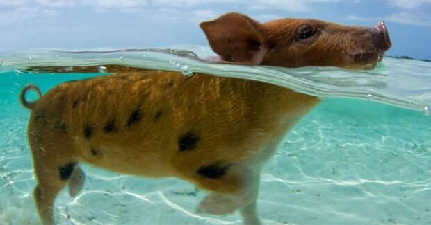 Туристы на Багамах отравили местных плавающих свиней алкоголем