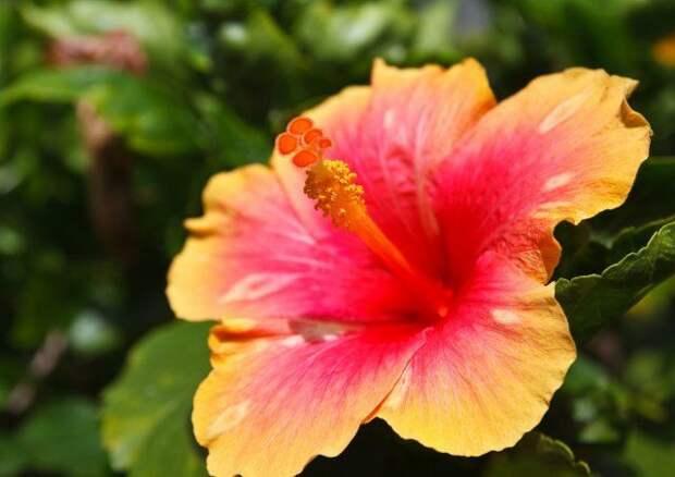 Гибискус китайский, цветок, комнатное растение