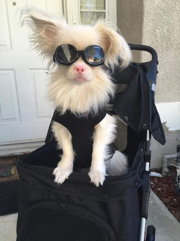 Взглянуть на мир одним глазом… сквозь очки! Борьба за жизнь собаки-альбиноса Лаки