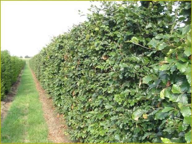 Стригут бук европейский два раза в год. Если летом листья имеют ярко зеленый окрас, то к осени они становятся то оранжевыми, то желтыми