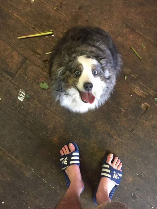 Умилительные доказательства, что австралийских овчарок не зря называют «улыбающимися собаками»