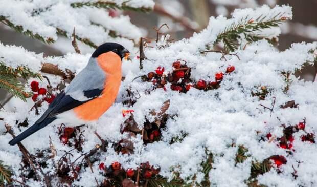 В парке «Москворецкий» заметили снегирей и свиристелей