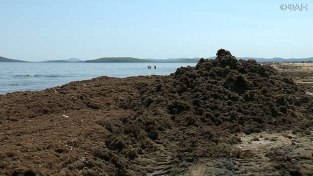Тонны гниющих водорослей: на юге Приморья спешно восстанавливают крупнейший пляж