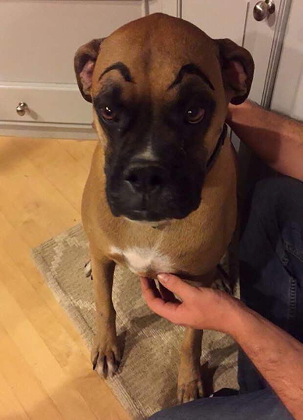 Вот умора! Что будет, если нарисовать собаке брови