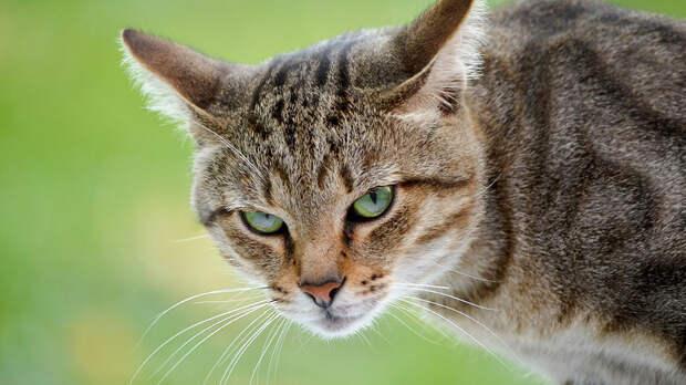 Будьте осторожны: породы кошек, которые отличаются самым сложным характером