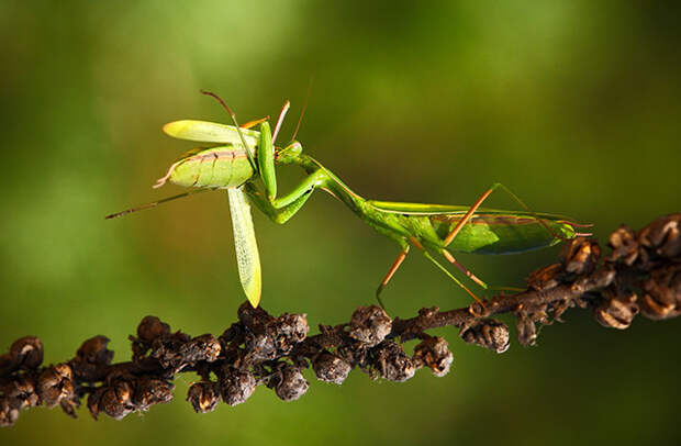 Самка богомола съедает самца
