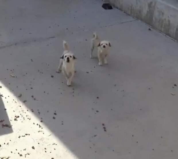 Две собачки