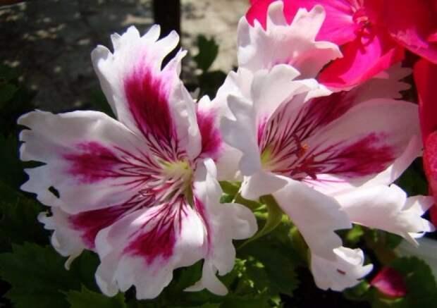 Пеларгония королевская: сорта с фото, уход в домашних условиях