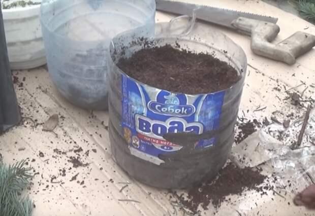 Простой способ размножить голубую ель в домашних условиях