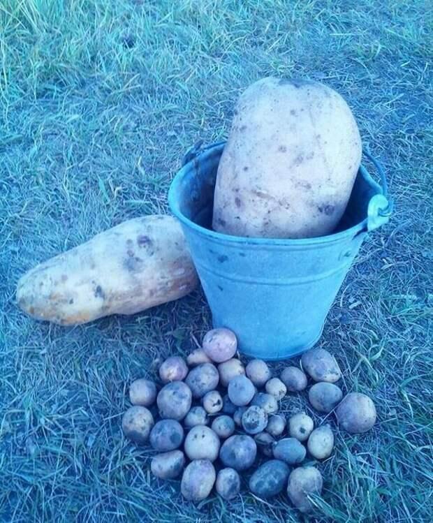 Картофель весом 11 кг подборка, прикол, теперь вы видели больше, удивительное, юмор