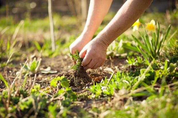 Почему при прополке сорняков нельзя выдергивать