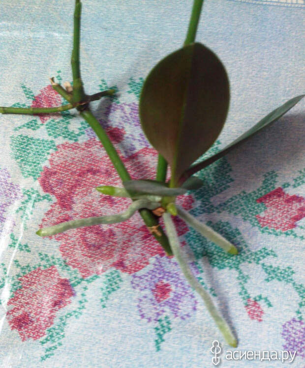 Орхидея. Выращиваю детки