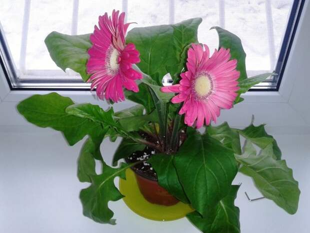 Полейте растения таким средством и они через пару дней оживут!