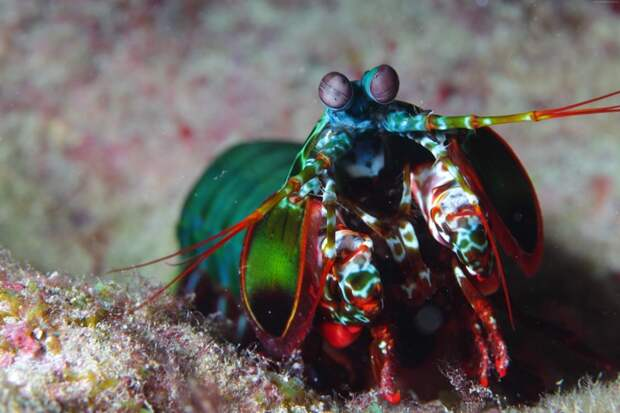 Креветка-богомол животные, красота, океан