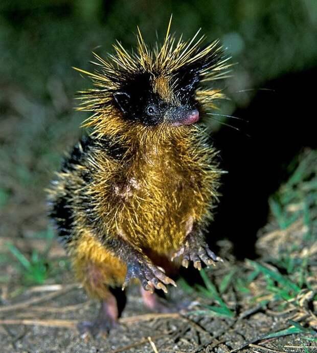 Тенрек. животные, интересное, мадагаскар, факты, эндемики мадагаскара