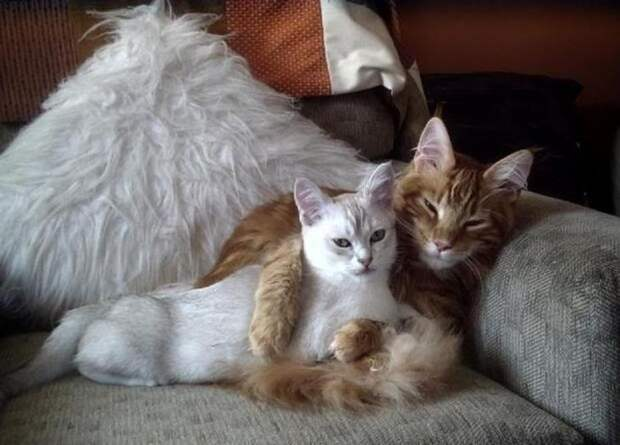 Влюблённые коты и кошки))