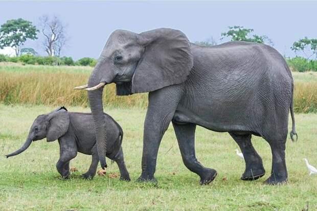 Власти Зимбабве собираются ввести разрешение на отстрел 500 слонов