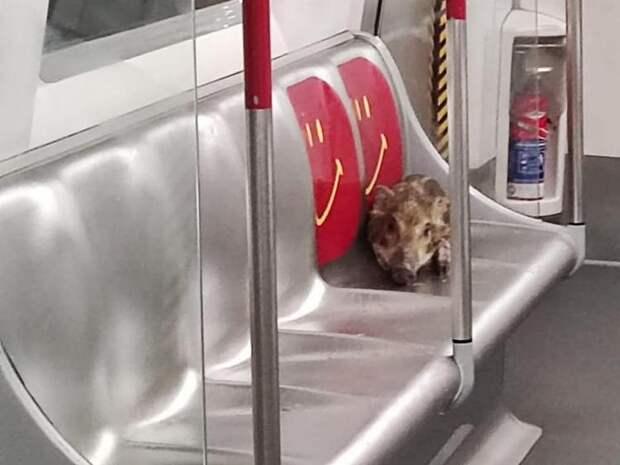 Наглое дикое порося прокатилось «зайцем» на метро в Гонконге
