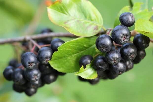 Одни из полезнейших ягод в мире, которые подавляют раковые клетки, вирусы и замедляют процесс старения