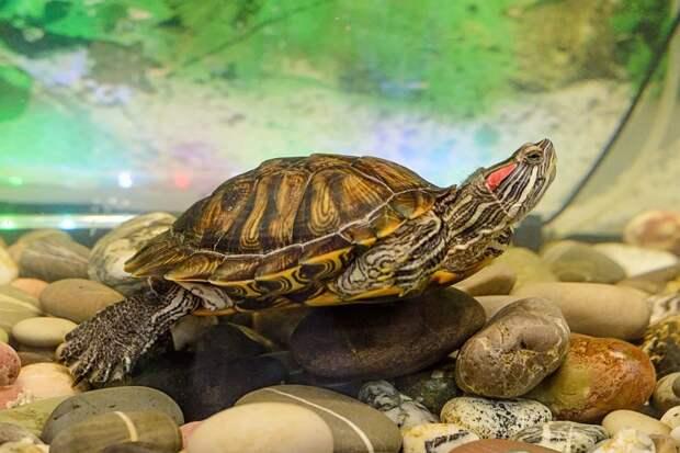Можно ли отпустить красноухую черепаху на волю