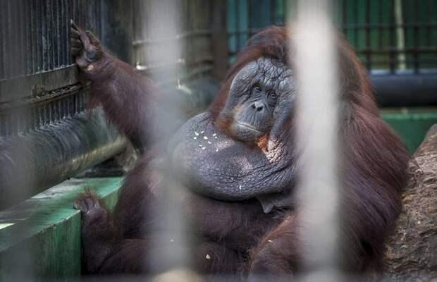 В Таиланде орангутан невероятно растолстел, начав есть от скуки