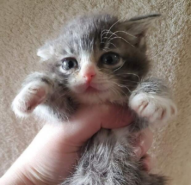 Среди котят была малютка с дварфизмом. Волонтёр взяла её на передержку, но поначалу не знала, что с ней делать