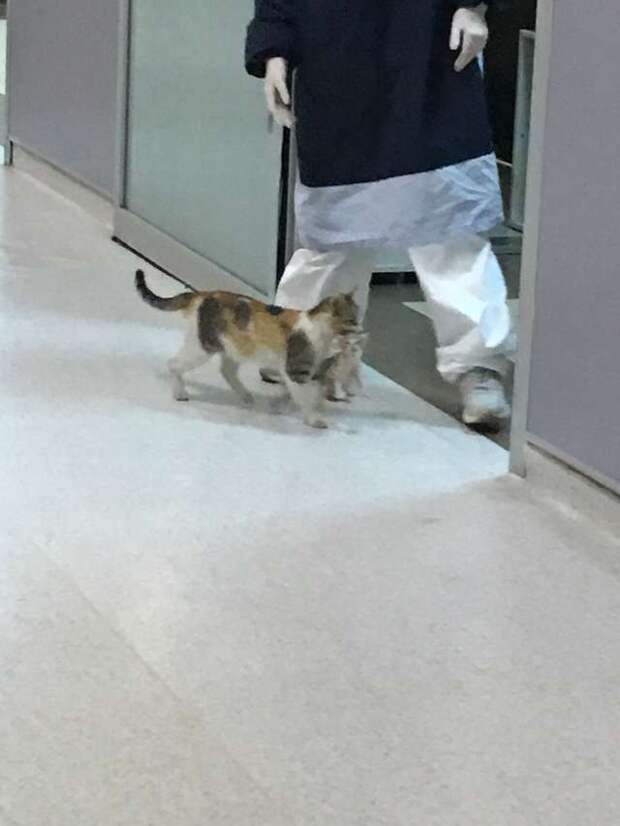 По коридору больницы шла кошка, крепко держа в зубах котёнка. Она знала, что её не прогонят прочь