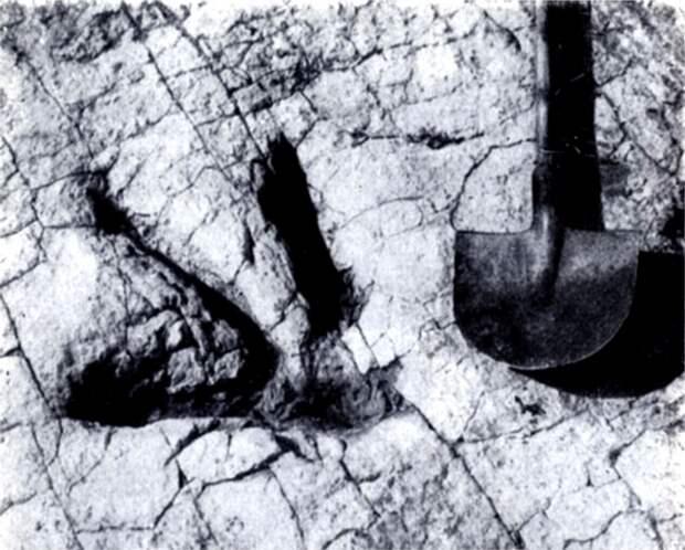 Рис. 9. Отпечаток задней лапы крупного хищного динозавра из Монголии (справа — лопата для масштаба)
