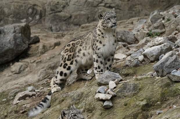 Снежных барсов, обитающих на Алтае, в Бурятии и Тыве, будут пересчитывать каждые пять лет