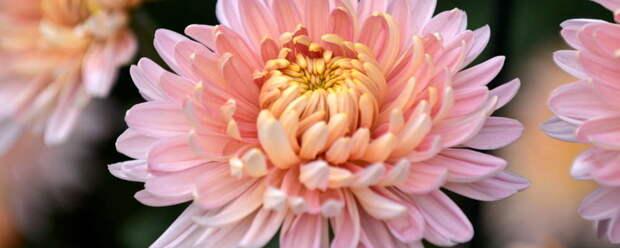 В Никитском ботаническом саду определили самую красивую хризантему