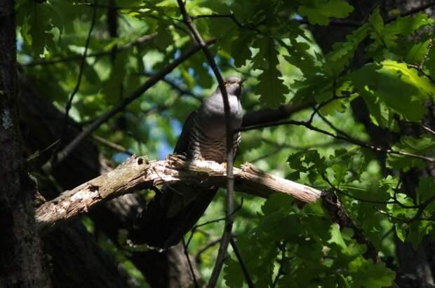 Фото дня: кукушка облюбовала парки Южного Медведкова