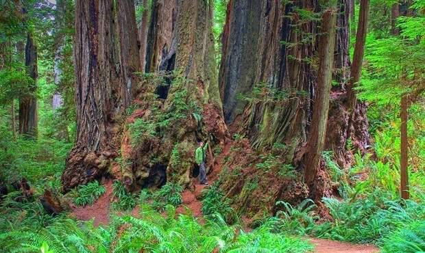 Всё выше и выше: 10 деревьев-рекордсменов