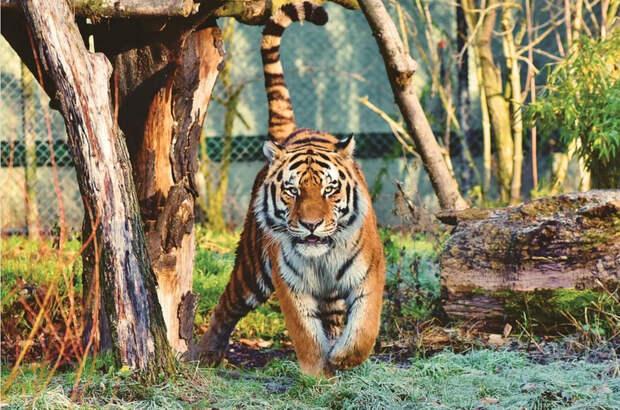 Сколько тигров живёт в России