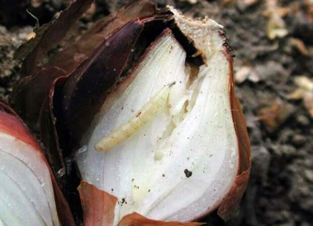 Как бороться с луковой мухой, чтобы не остаться без урожая