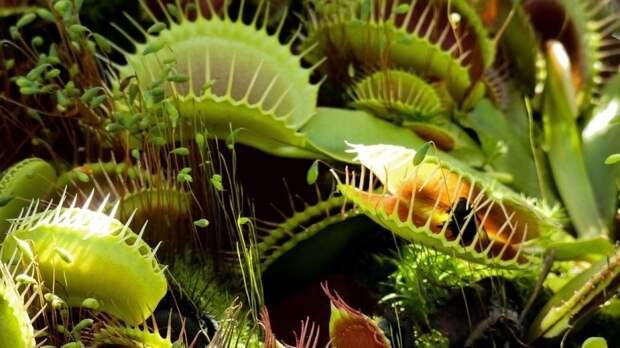 Разработка ученых из Сингапура позволит управлять хищными растениями