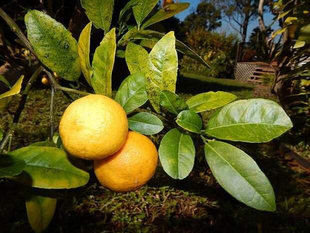 Лимандарин - лимон скрещенный с мандарином