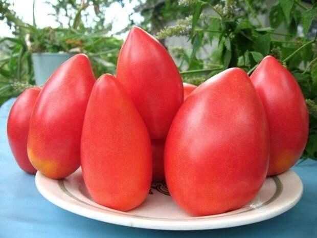 Низкорослые томаты: ранний урожай при минимуме ухода
