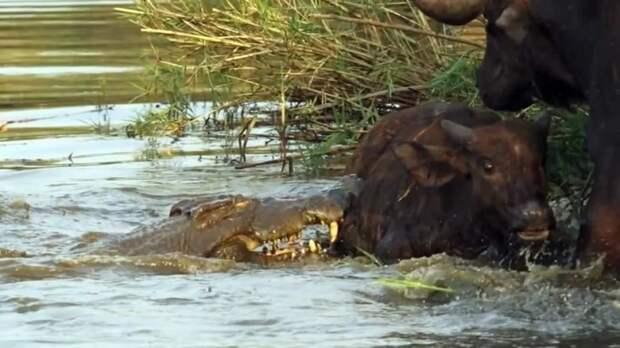 Целого буйвола крокодилы редко способны осилить. Чаще всего под удар рептилий попадают телята.