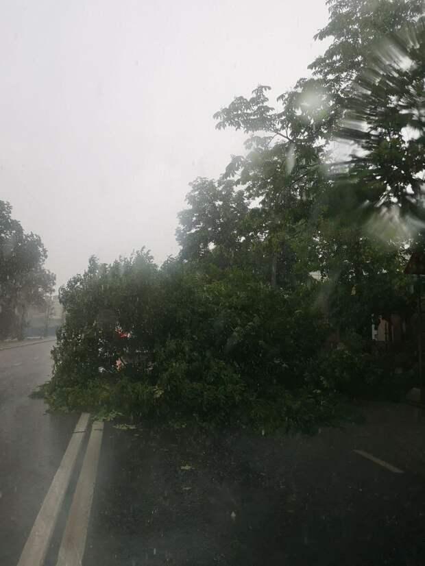 В Симферополе дерево упало на проезжую часть. Фото
