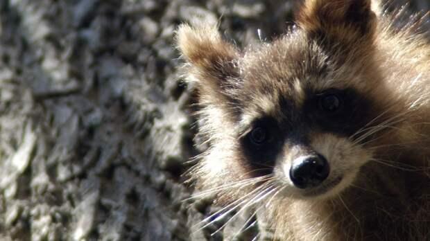 Панды расстроились, еноты измучились от бессонницы: Тёплая зима измотала обитателей Московского зоопарка