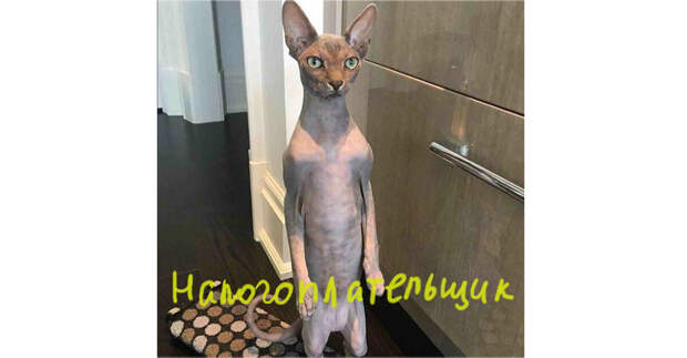 Котик из интернета, голый (порода такая). Представила россиянина, который платит все налоги и хочет еще!