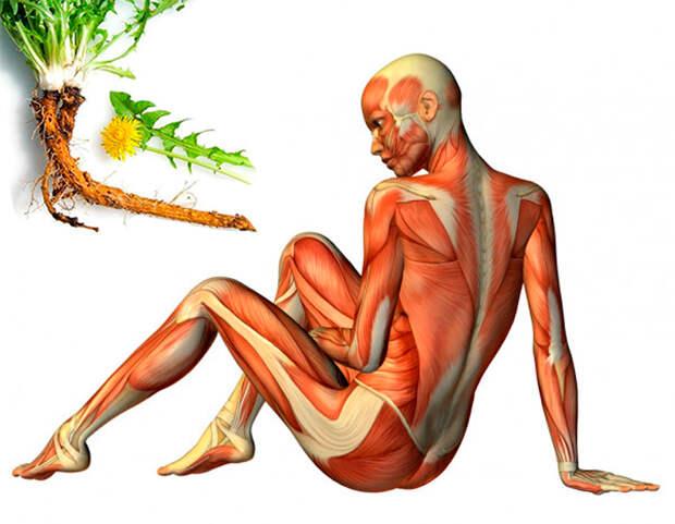 Корень одуванчика от варикоза, отеков и псориаза