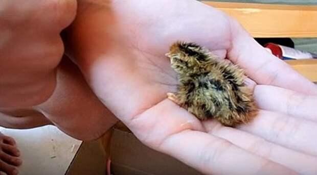 Женщина купила перепелиное яйцо в магазине и подложила его к своему попугаю