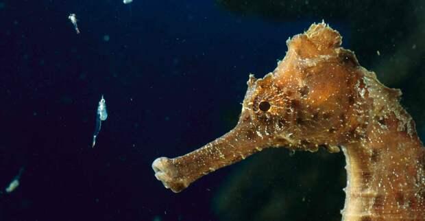 Морские коньки едят рачков