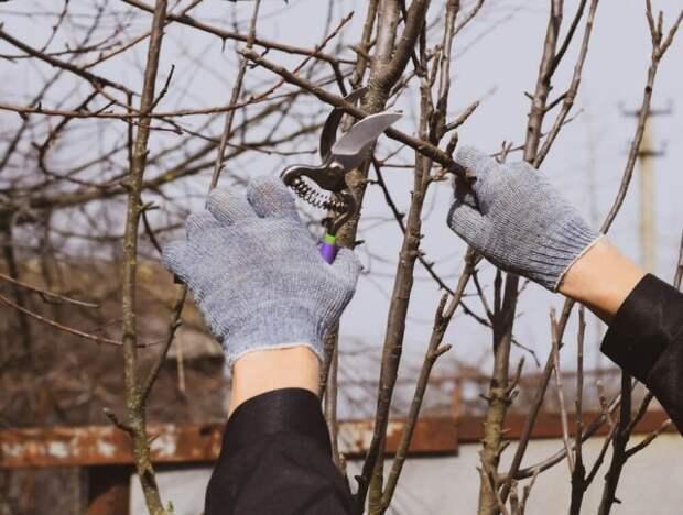 Ка обрезать деревья весной