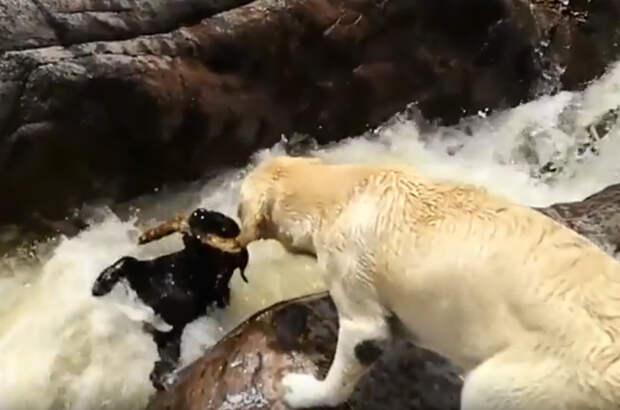 Лабрадор спас другую собаку из бурлящей реки