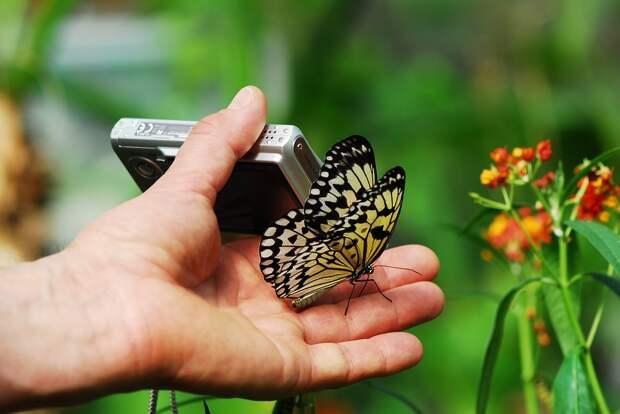 Если не делать резких движений, бабочка может даже сесть на руку / Фото: pixabay.com