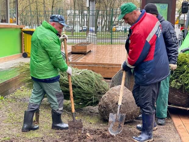 В Бабушкинском парке высадили две шаровидные туи и куст можжевельника