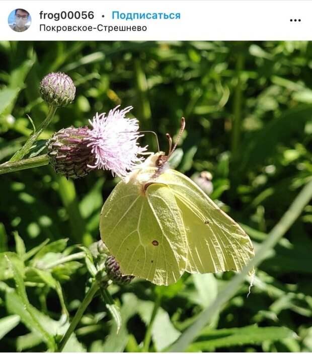 Фото дня: лимонница из парка «Покровское-Стрешнево» попала в объектив камеры фотографа